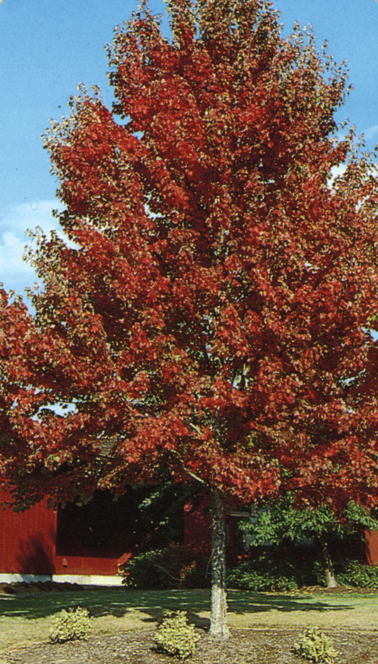 11431_RedMaple.jpg
