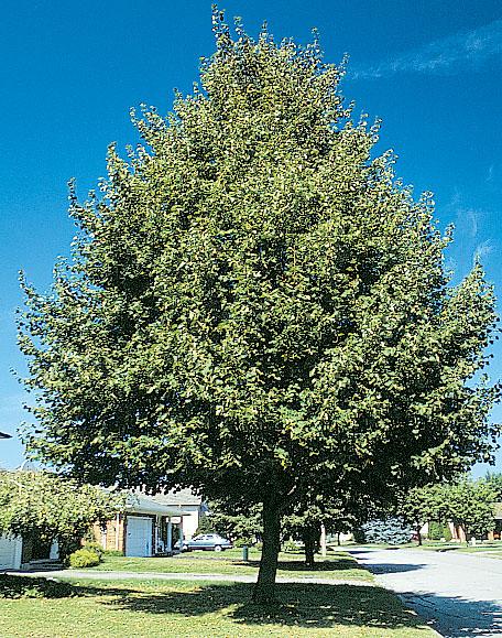 greenspire littleleaf linden tree related keywords