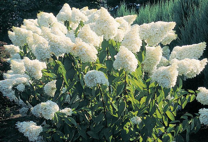 hydrangea paniculata grandiflora j c bakker nurseries. Black Bedroom Furniture Sets. Home Design Ideas