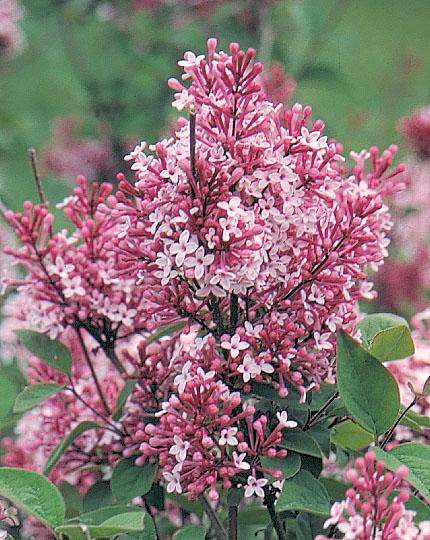 syringa microphylla superba j c bakker nurseries. Black Bedroom Furniture Sets. Home Design Ideas
