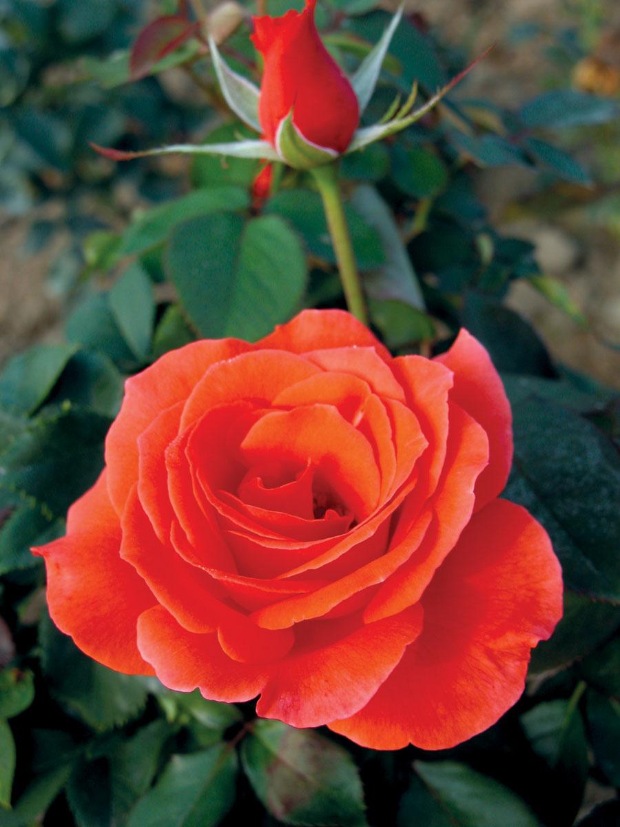 Grandiflora Rose | Product Categories | J.C. Bakker Nurseries