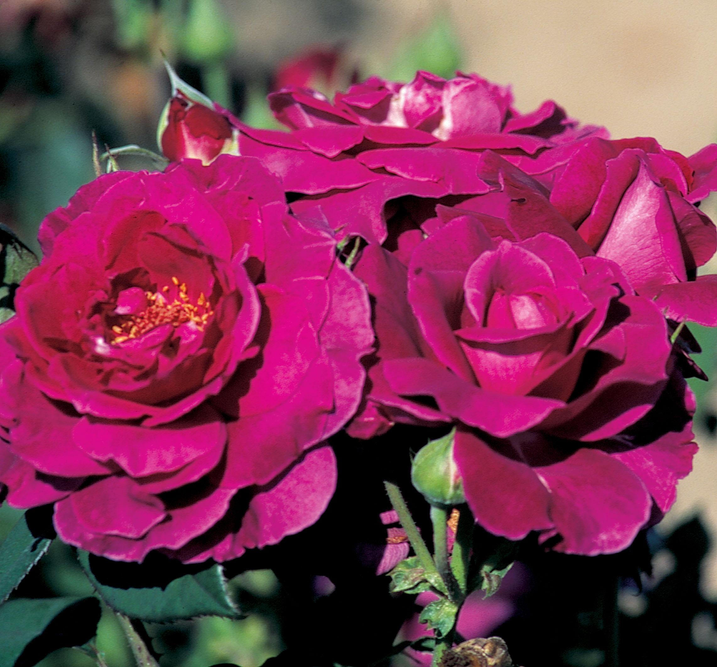 Floribunda Rose Product Categories J C Bakker