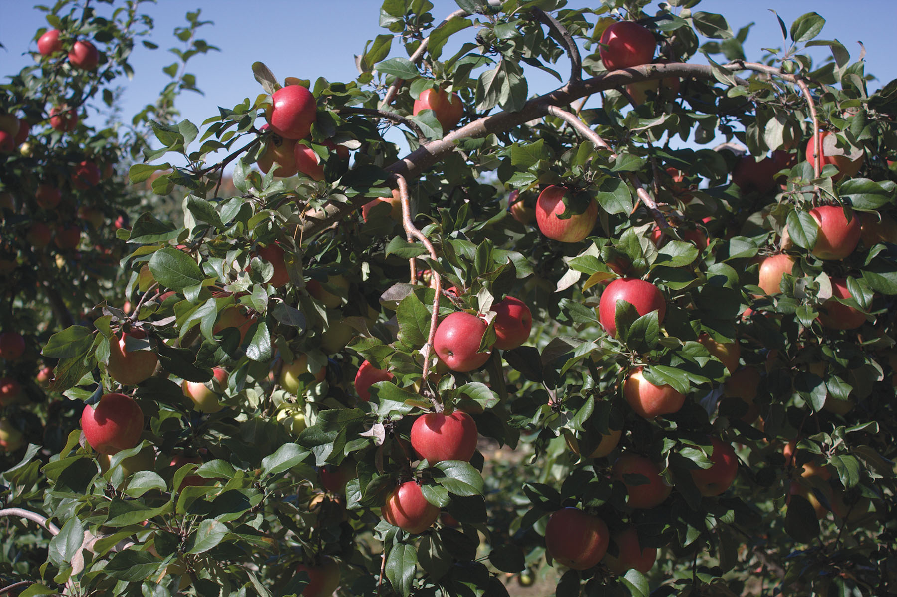 26521500_Honeycrisp.jpg