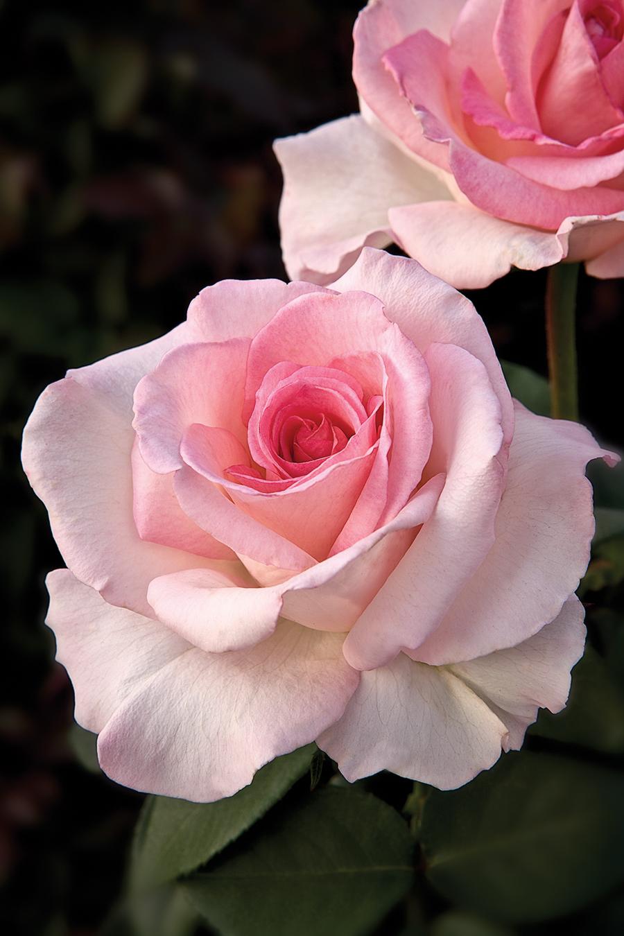 Coiner Nurseries 2009 AARS Winner 'Pink Promise'