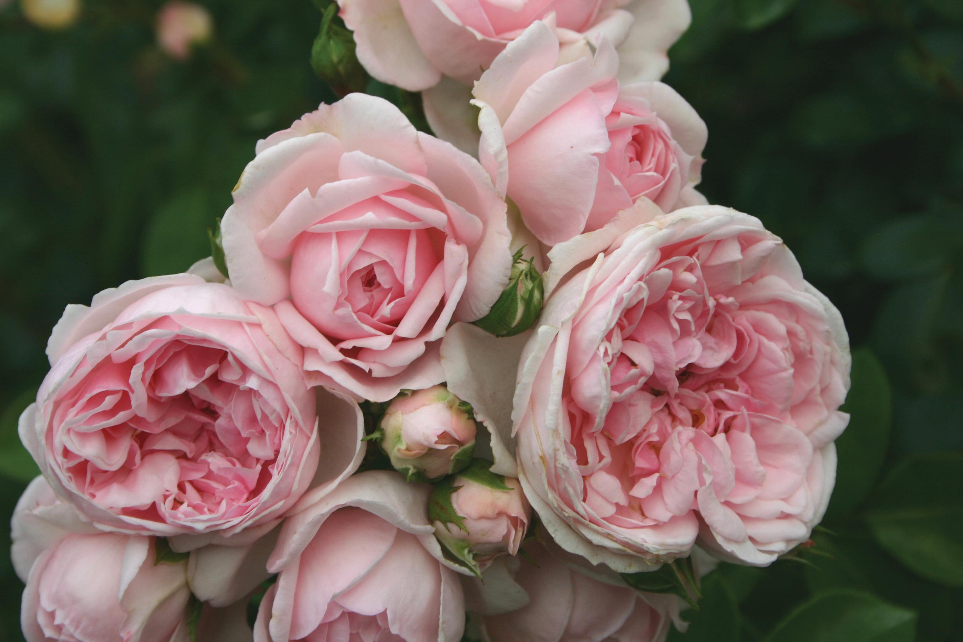 rosa cinderella fairy tale j c bakker nurseries. Black Bedroom Furniture Sets. Home Design Ideas