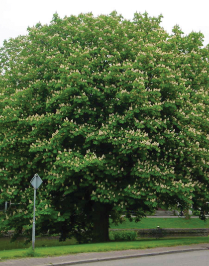 CommonHorsechestnut2