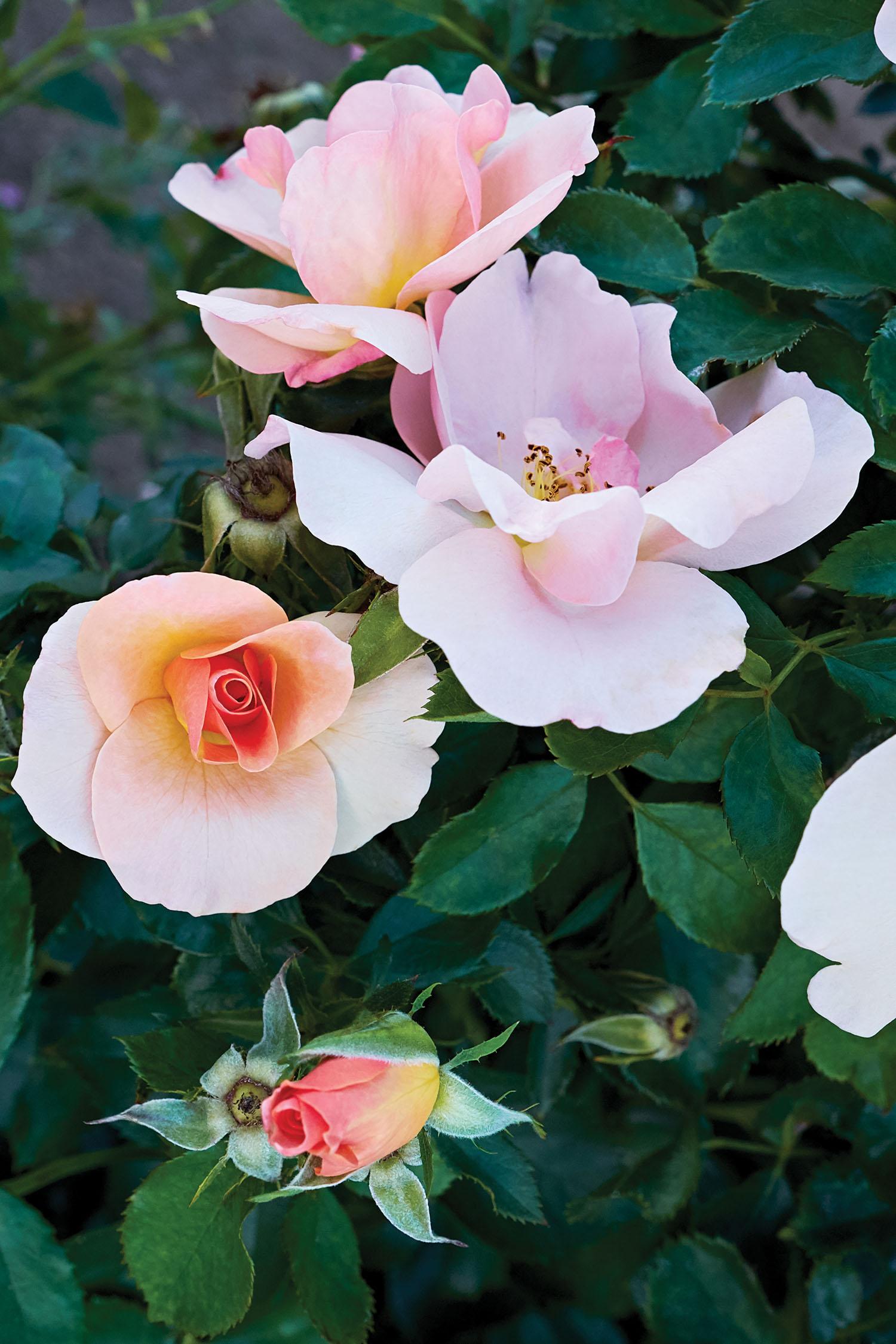 Rosa Chinook Sunrise Vlr001 J C Bakker Amp Sons Ltd