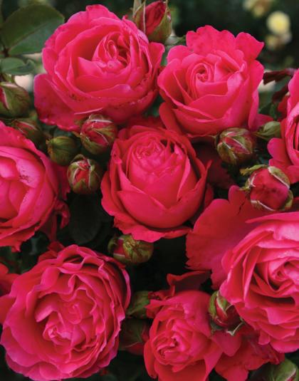 Roses Product Categories Jc Bakker Sons Ltd