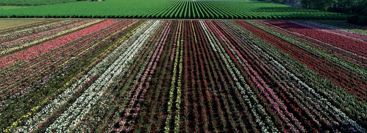 Bakke Rose Field - 2022 Crop